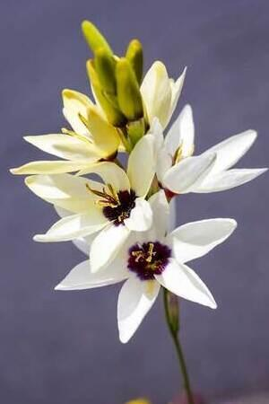 Ixia Hogarth