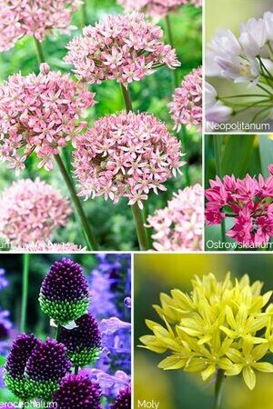 Allium Meadow Mix