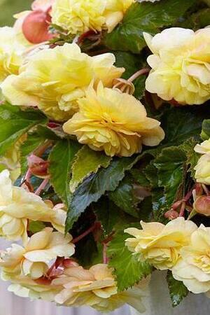 Begonia odorata Yellow