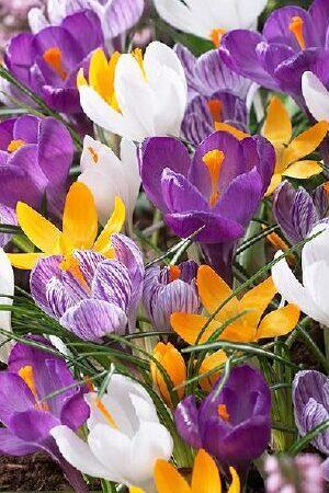 Crocus Royal Mix