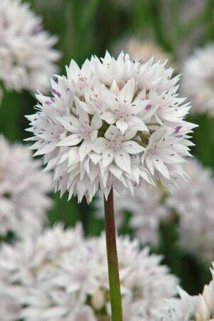 Allium Timeless White Collection