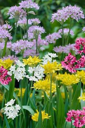 Allium Fireworks Mix