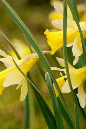 Narcissus pseudonarcissus in the Green