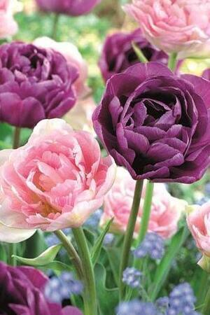 Tulip Angelique & Blue Diamond