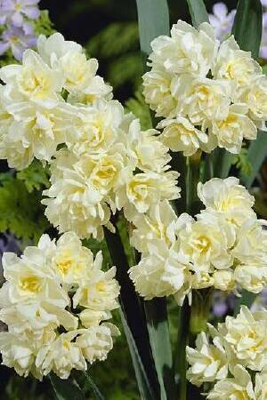 Narcissus Erlicheer (Early Cheer)