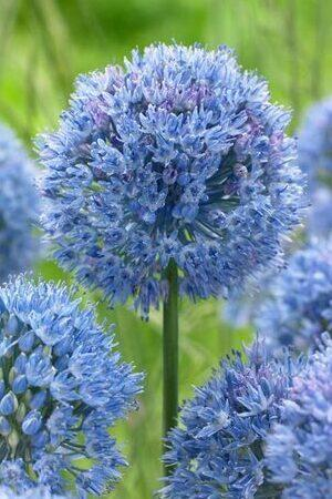 Allium Rare and Unusual Collection