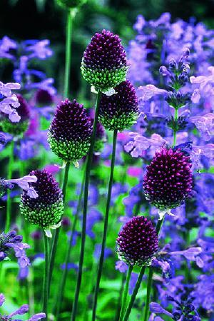 Allium Rare & Unusual Collection