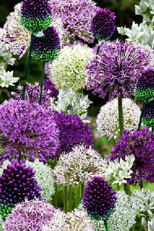 Allium mix Bulbs