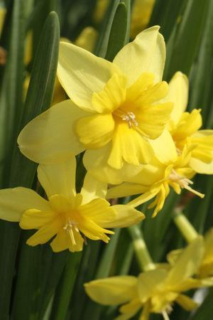 Narcissus Tripartite