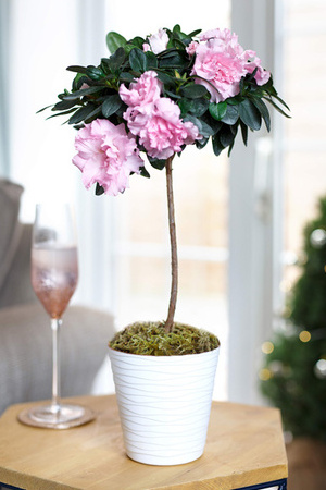 Pink Azalea In White Tedi Pot