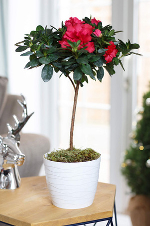 Red Azalea in White Tedi Pot