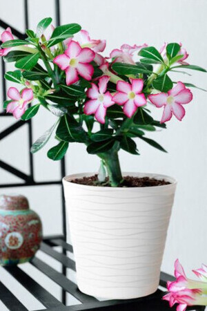 The Desert Rose Picotee Pink