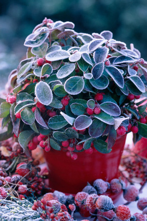Mini Gaultheria procumbens with Red Berries