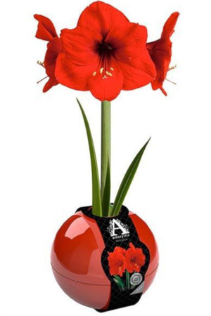 Amazing Amaryllis Bauble Collection