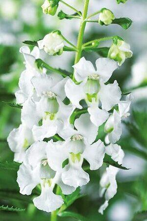 Angelonia Adessa White