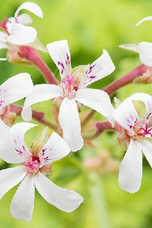 Pelargonium Scented Fragrans Variegatum