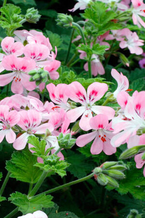 Pelargonium Scented Sweet Mimosa