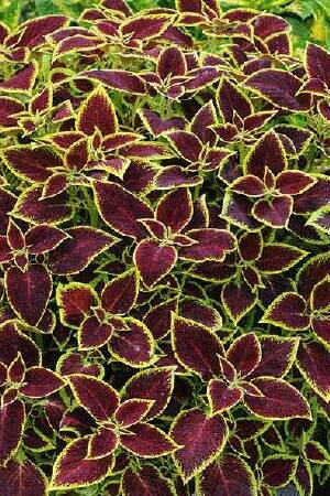 Solenostemon Crimson Gold