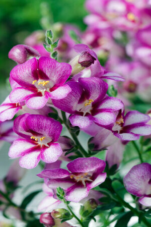 Antirrhinum antirinca Rose