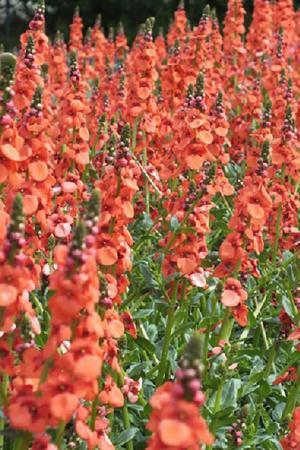 Diascia Sundiascia Orange