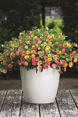 Calibrachoa Chameleon Double Pink Yellow