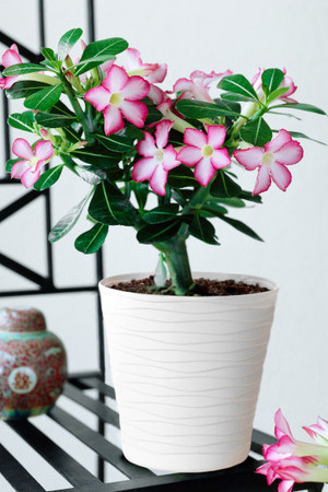 Desert Rose Pink With White Pot