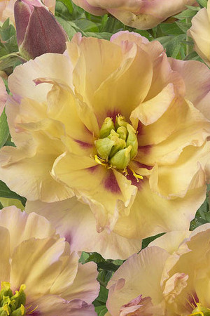 Paeonia Itoh Canary Brilliant