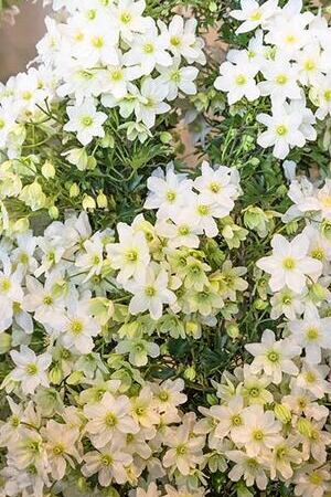 Clematis Avalanche Blaaval