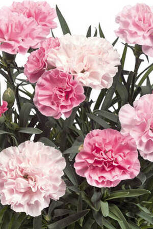 Dianthus Sunnybees Peppermint