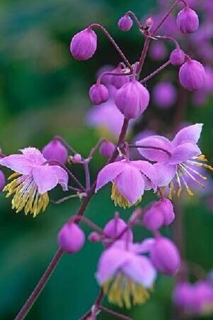 Thalictrum Mixed Collection