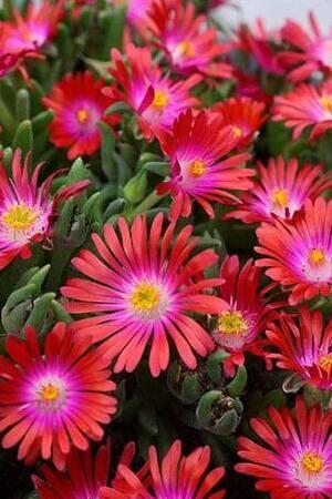 Delosperma Collection