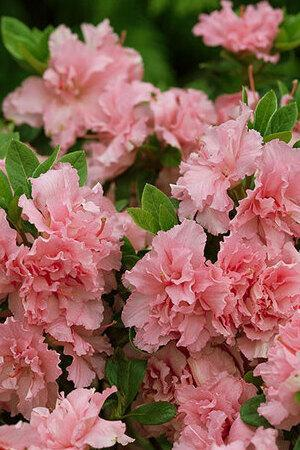 Azalea Bloom Champion Salmon