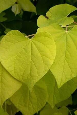 Cercis Hearts of Gold