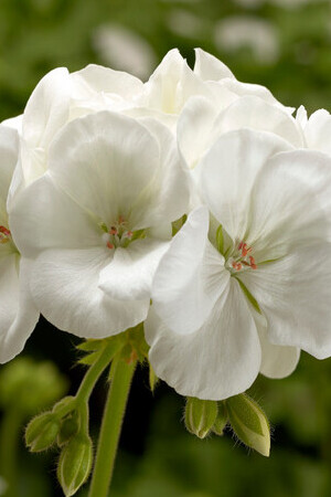 Pelargonium Patio Collection