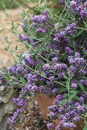 Buddleja alternifolia Unique