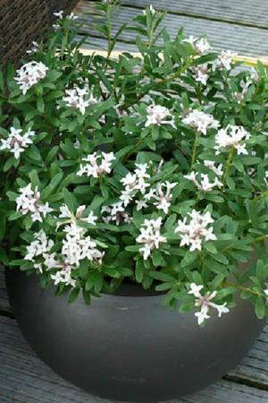Daphne transatlantica Eternal Fragrance
