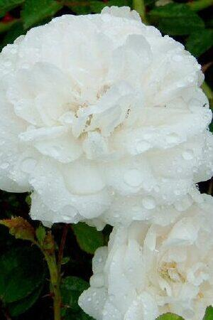 Rose Sea Foam White