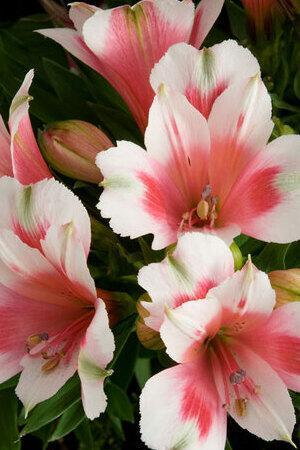 Alstroemeria Inca Collection