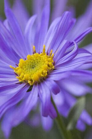 Aster x frikartii Monch