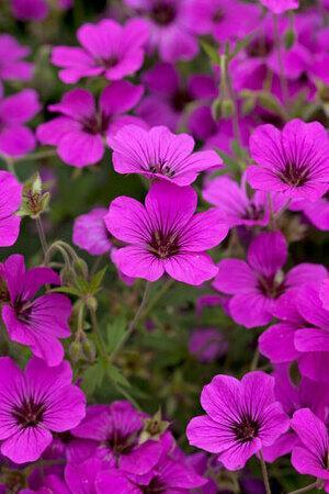 Award Wining Hardy Geranium Collection