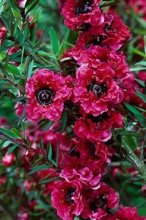 Leptospermum Red Damask