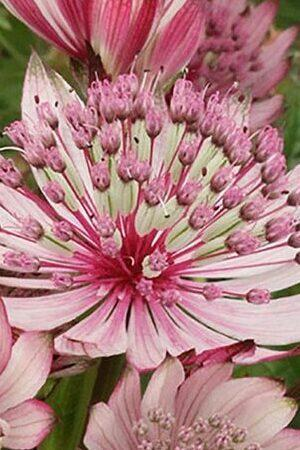 Astrantia major Penny\'s Pink