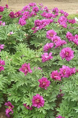 Paeonia Itoh Morning Lilac