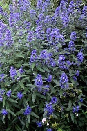 Caryopteris Blue Balloon