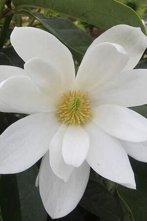 Magnolia Fairy White
