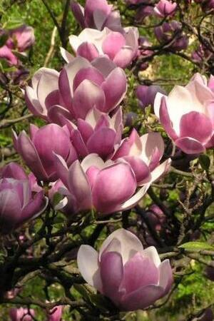 Magnolia Satisfaction