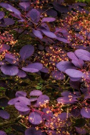 Cotinus Mixed Collection