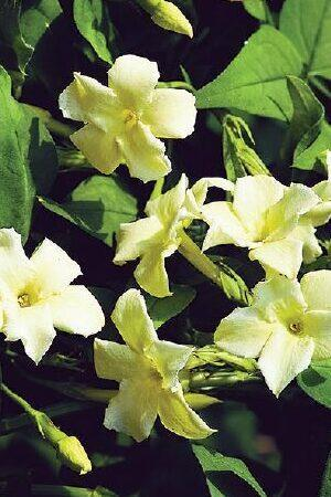 Jasminum officinale Clotted Cream