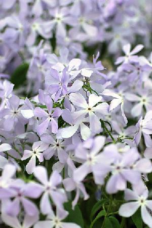 Phlox divaricata \'Clouds of Perfume\'