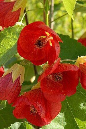 Abutilon megapotamicum Wisley Red